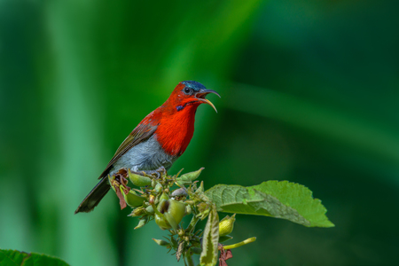 Crimson Sunbird or Aethopyga siparaja, beautiful red bird perching on branch with green background in meadow. Stock Photo