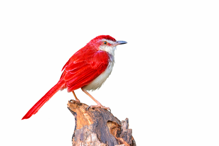 flapper: Colorful  bird isolated on branch with white background, red bird. Foto de archivo