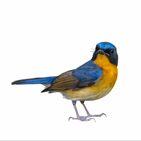 Hill Blue Flycatcher or Cyornis banyumas, beautiful blue bird isolated standing with white background.