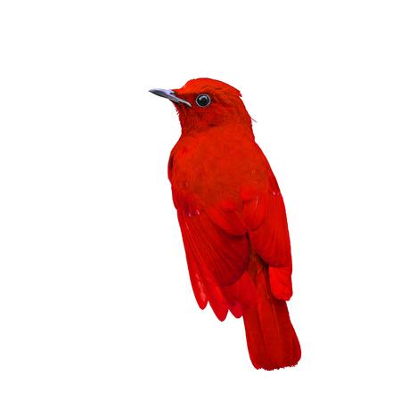 red robin bird stock photos royalty free red robin bird images