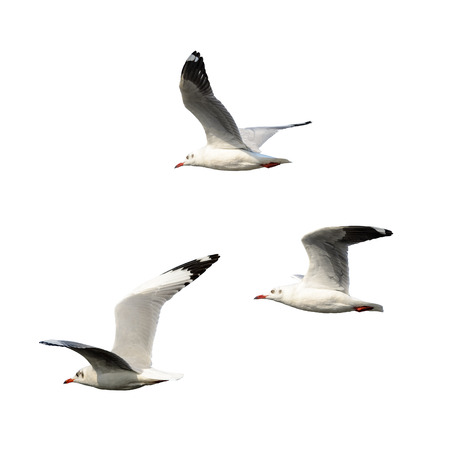 chroicocephalus: Brown-headed gull or Chroicocephalus brunnicephalus,group of beautiful bird isolated  flying in winter plumage with white background, Thailand. Stock Photo