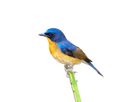 Hill blue flycatcher or Cyornis banyumas, beautiful bird isolated perching on branch in Thailand with white background and clipping path.