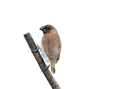 white perch: Scaly-breasted Munia or Lonchura punctulata, brown bird isolated perching on branch with white background