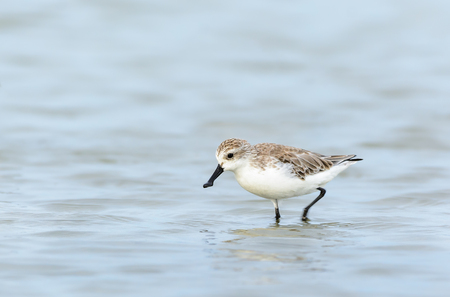 Spoon-billed Sandpiper or Critically endangered, Critically endangered  bird in red list of IUCN looking for food at salt pan with water background,Thailand.