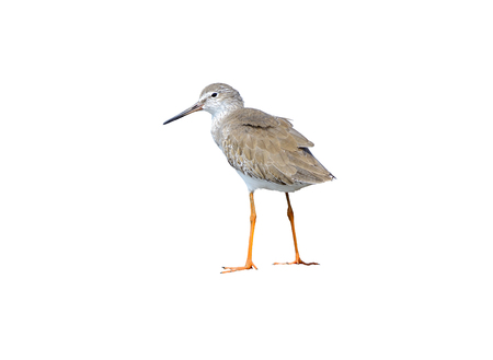 Common Redshank or Tringa totanus, beautiful bird isolated standing on ground in nature with water background