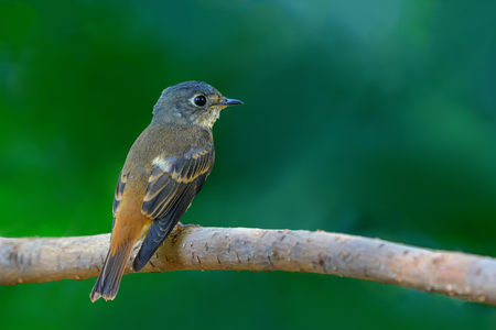Ferruginous Flycatcher or Muscicapa ferruginea, beautiful bird preching on branch with green background, Thailand.