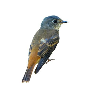 Ferruginous Flycatcher or Muscicapa ferruginea, beautiful bird isolated with white background   Thailand.