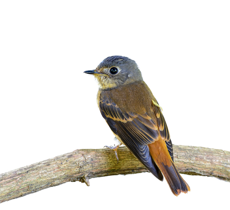 Ferruginous Flycatcher or Muscicapa ferruginea, beautiful bird isolated perching on branch with white background and clipping path,Thailand.