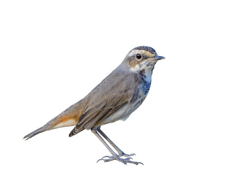 Bluethroat or Luscinia svecica, beautiful bird isolated standing on stone in nature with white background and clipping path,Thailand.
