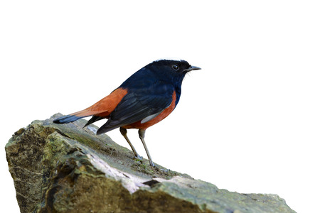 White-capped Water Redstart or River Chat (Chaimarrornis leucocephalus), Beautiful red bird isolated standing on the stone with white background and clipping path, Thailand.