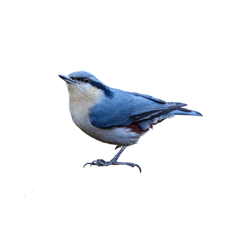 Chestnut-vented Nuthatch or Sitta nagaensis, beautiful bird isolated perching on branch with white background and clipping path, Thailand. Stock Photo