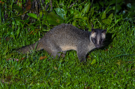 Masked palm civet or Paguma larvata, A nocturnal creature,  patrol at night for food in Kaeng Krachan National Park, Thailand.