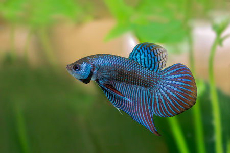 Mahachai betta or Betta mahachaiensis, beautiful Siamese Fighting Fish with green background in Thailand. Stok Fotoğraf