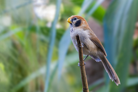 Spot-breasted Parrotbill or Paradoxornis guttaticollis, beautiful brown bird on branch with green background at Doi Sun Juh, northern Thailand.