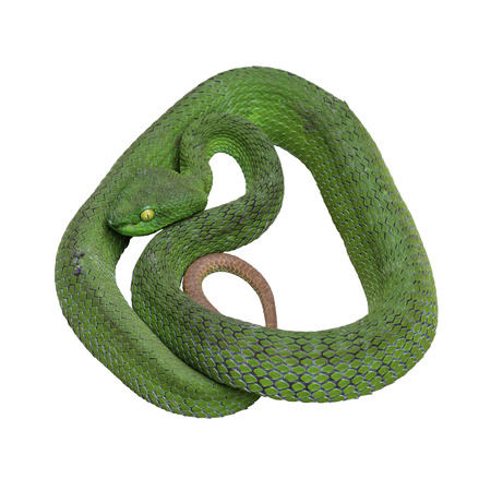 Large-eyed Green Pitviper or Trimeresurus [Cryptelytrops] macrops Krammer, Green pit vipers or Asian pit vipers on white background in Thailand and clipping path.