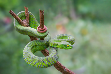 Large-eyed Green Pitviper or Trimeresurus [Cryptelytrops] macrops Krammer or Green pit vipers or Asian pit vipers, green snake on branch with green background in Thailand. Standard-Bild