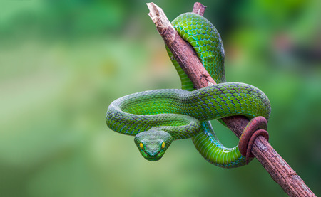 Large-eyed Green Pitviper or Trimeresurus [Cryptelytrops] macrops Krammer or Green pit vipers or Asian pit vipers, green snake on branch with green background in Thailand. Imagens