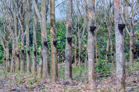 Gummibaumplantage in Chanthaburi, Thailand Standard-Bild