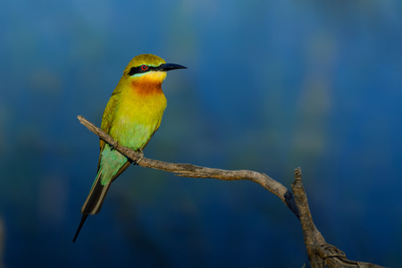 Blue-tailed bee-eater or Merops philippinus, beautiful bird perching on branch with blue background in Thung Yai Pak Phli, Nakhon Nayok, Thailand. Stock Photo