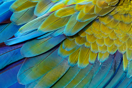 Close up of catalina macaw bird's feathers, exotic nature background and texture.