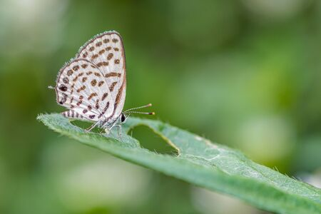 Spotted Pierrot (Tarucus callinara), beautiful butterfly perching on leaf in meadow with green background, Thailand.