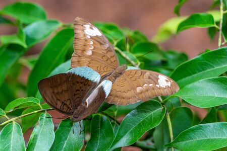 Common Earl  or Tanaecia julii odilina (Fruhstorfer, 1913) , brown butterfies mating on green leaves with green background in Pang Sida National park, Thailand. Imagens