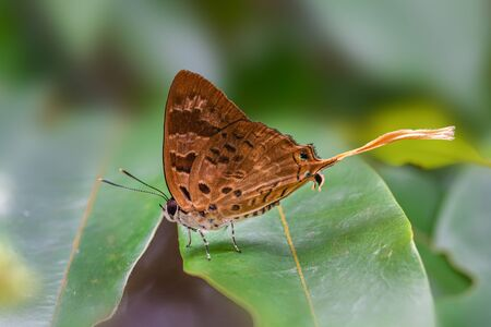 Plane or Bindahara phocides phocides (Fabricius, 1793) , beautiful brown butterfly feeding on green leaves in Pang Sida National Park, Sa Kaeo , Thailand.