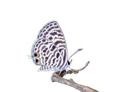 Zebra Blue or Leptotes plinius (Fabricius, 1793), beautiful butterfly isolated perching on branch with white background in Thailand.