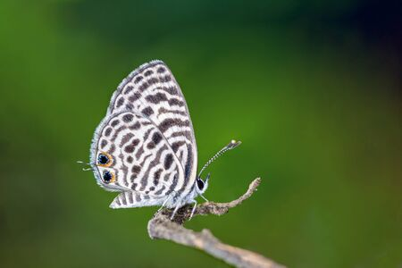 Zebra Blue or Leptotes plinius (Fabricius, 1793), beautiful butterfly perching on branch with green background in Thailand.