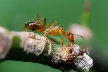 Anoplolepis gracilipes or yellow crazy ant on branch with green background, Thailand.