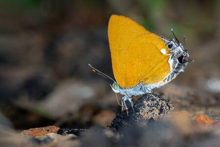 Dawnas Royal or Pseudotajuria donatana arooni Ek-Amnuay(2007) , beautiful orange butterfly eating some food on ground with brown background, Thung salaeng luang , Thailand. Imagens