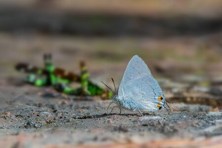 Silver Royal  or Ancema blanka minturna (Fruhstorfer, 1912), beautiful white butterfly eating some food on ground  in Thung salaeng luang national park, Thailand.