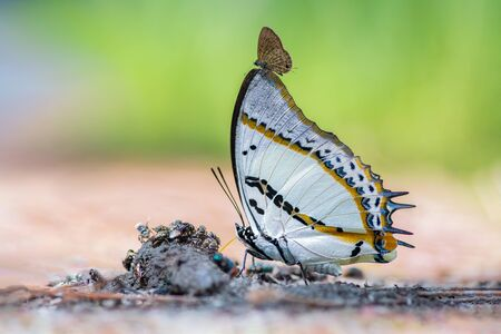 Shan Nawab or Polyura nepenthes nepenthes (Grose-Smith, 1883) , beautiful butterfly feeding on animal dung at Thung saleang luang National park, Thailand.