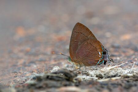 Chocolate Royal or Remelana jangala ravata (Moore, 1866), beautiful brown butterfly eating some food from dung at the side of a road, Thung salaeng luang national park, Thailand.