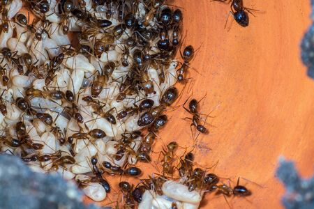 The Yellow Crazy Ant or Anoplolepis gracilipes , orange ants and eggs in nest.