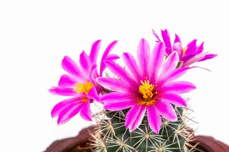 Macro shot of a beautiful pink blooming cactus flower isolate  with white background.