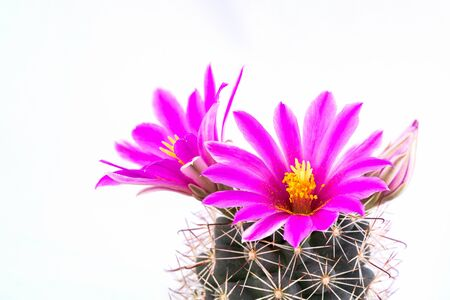 Macro shot of beautiful pink blooming cactus flower with white background.