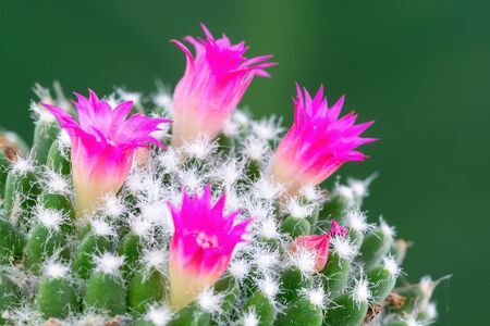 Macro shot of a beautiful pink blooming cactus flower with green blur background.