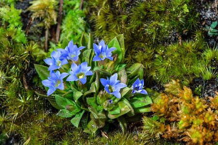 Gentiana hesseliana Hoss. var. lakshnakarae (Kerr)Toyokuni, The beautiful blue flowers are blooming on a high mountain with a moss background at Phu Kradueng National Park, a tourist attraction in Thailand. Imagens