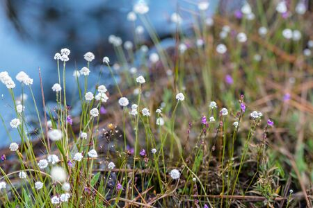Eriocaulon henryanum Ruhle, clusters of beautiful white flowers in the meadow at Phu kradueng National Park. Famous tourist attraction in the northeast of Thailand. Imagens