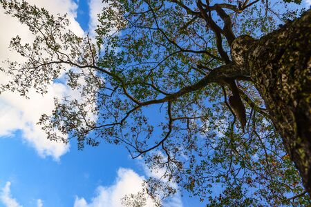 View of a tree branch with blue sky and white clouds background  from the bottom. Phu kradueng National park, Thailand's most famous tourist attraction.
