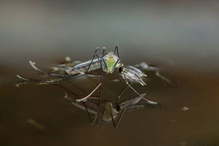 Close-up of a mosquito on the surface of the water. Imagens