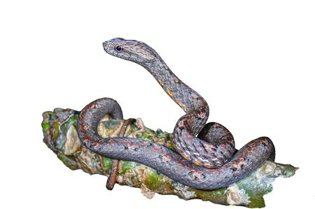 Common Mock Viper or Psammodynastes pulverulentus (Boie, 1827), beautiful gray snake isolated stripes coiling resting wrap on tree branch with white background at Thung salaeng luang National park, Thailand. Clipping path.