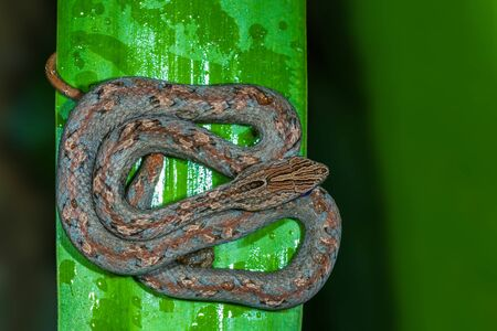 Common Mock Viper or Psammodynastes pulverulentus (Boie, 1827), beautiful gray snake stripes coiling resting wrap on tree branch at night in Thung salaeng luang National park, Thailand. Standard-Bild