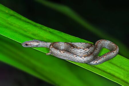 Common Mock Viper or Psammodynastes pulverulentus (Boie, 1827), beautiful gray snake stripes coiling resting wrap on green Leaves at night in Thung salaeng luang National park, Thailand.