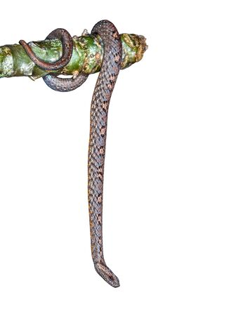 Common Mock Viper or Psammodynastes pulverulentus (Boie, 1827), beautiful gray snake isolated stripes coiling resting wrap on tree branch with white background and clipping path. Standard-Bild
