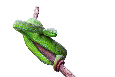 Large-eyed Pit Viper or Trimeresurus macrops, beautiful green snake coiling resting on tree branch with white background Standard-Bild