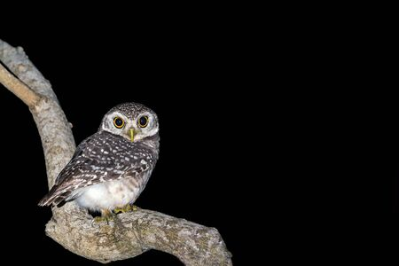 Spotted owlet or Athene brama, beautiful brown bird perching on the branch at night with a black background, Hat Wanakon National Park, Thailand.