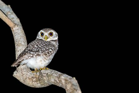 Spotted owlet or Athene brama, beautiful brown bird perching on the branch at night with  black Standard-Bild