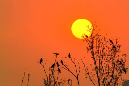Black kite or Pariah kite or Milvus migrans, the image of silhouettes birds perching on the branches with golden sky and full sun in evening, Thailand.